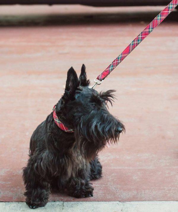 Brott-Dog-Halsband-Leine-Textura-Tremp-mit-Scottish-Terrier