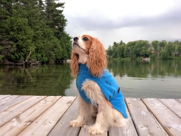 Chilly-Dogs-Bademantel-soaker-robe-Blau-King-Charles