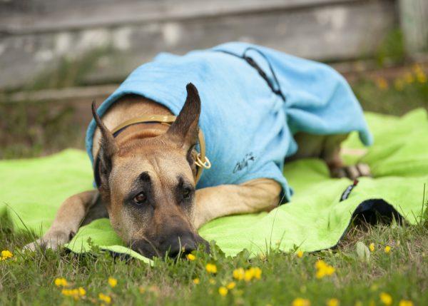 Chilly-Dogs-Bademantel-soaker-robe-Blau-deutsche-dogge-liegend