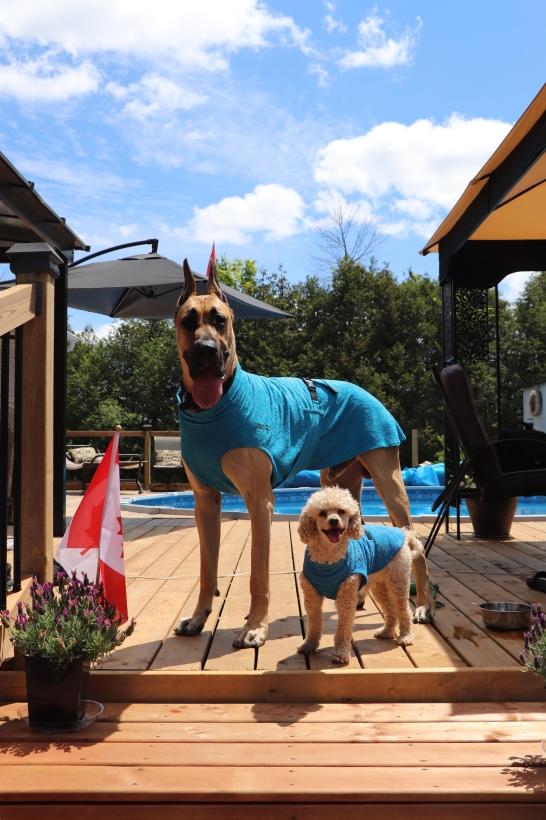 Chilly-Dogs-Bademantel-soaker-robe-Blau-deutsche-dogge-und-pudel-am-pool
