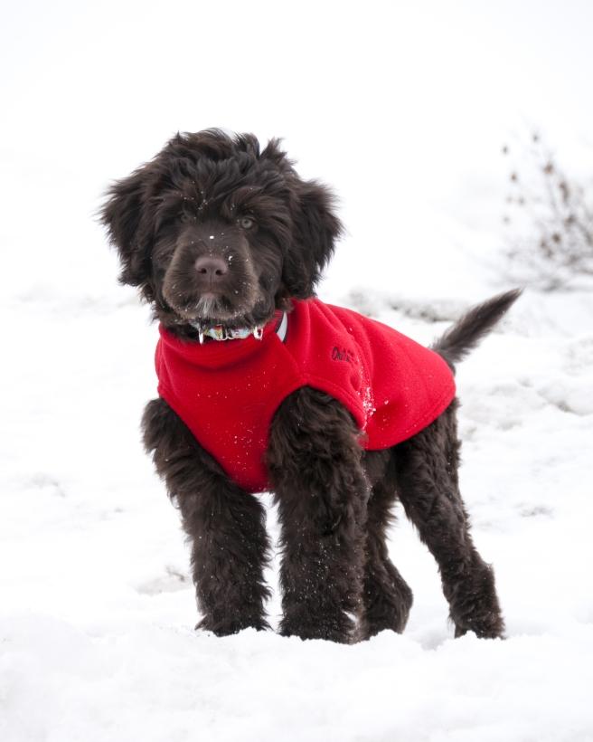 Chilly-Dogs-Chilly-Sweater-Rot-Wasserhund-Puppy-im-Schnee1