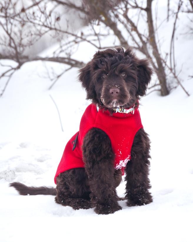 Chilly-Dogs-Chilly-Sweater-Rot-Wasserhund-Puppy-im-Schnee2