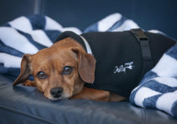 Chilly-Dogs-Chilly-Sweater-Schwarz-Dackelmix