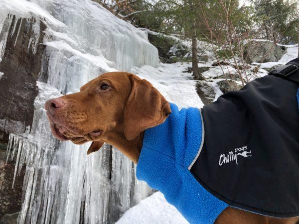 Chilly-Dogs-Great-White-North-Mantel-Blau-Schwarz-Viszla-im-Schnee-Nahaufnahme