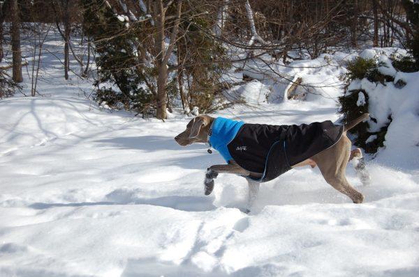 Chilly-Dogs-Great-White-North-Mantel-Blau-Schwarz-Weimaraner-im-Schnee
