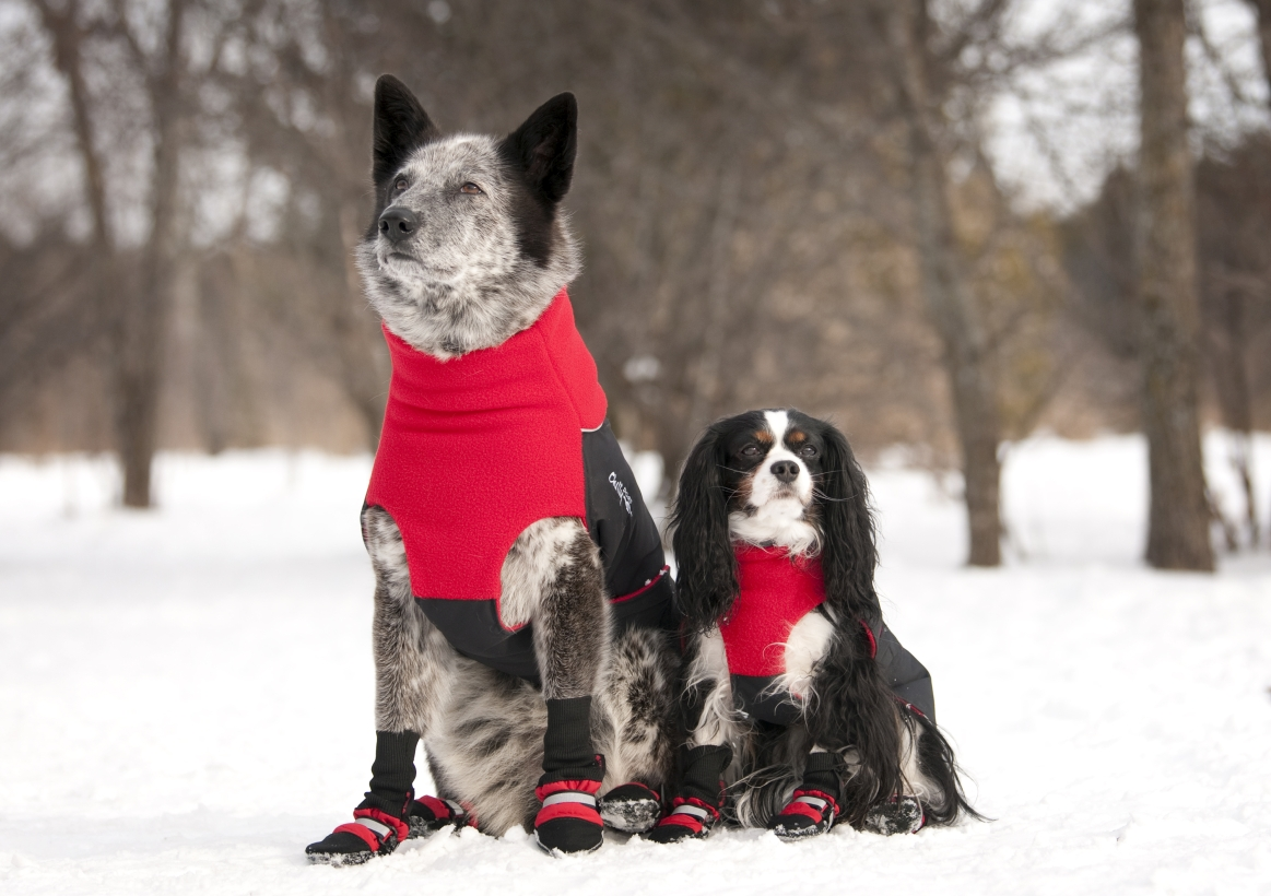 Chilly-Dogs-Great-White-North-Mantel-Rot-Schwarz-King-Charles-Bordermix-im-Schnee