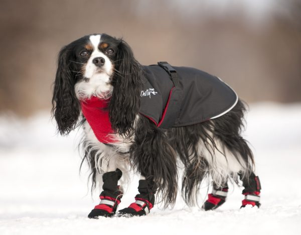 Chilly-Dogs-Great-White-North-Mantel-Rot-Schwarz-King-Charles-im-Schnee