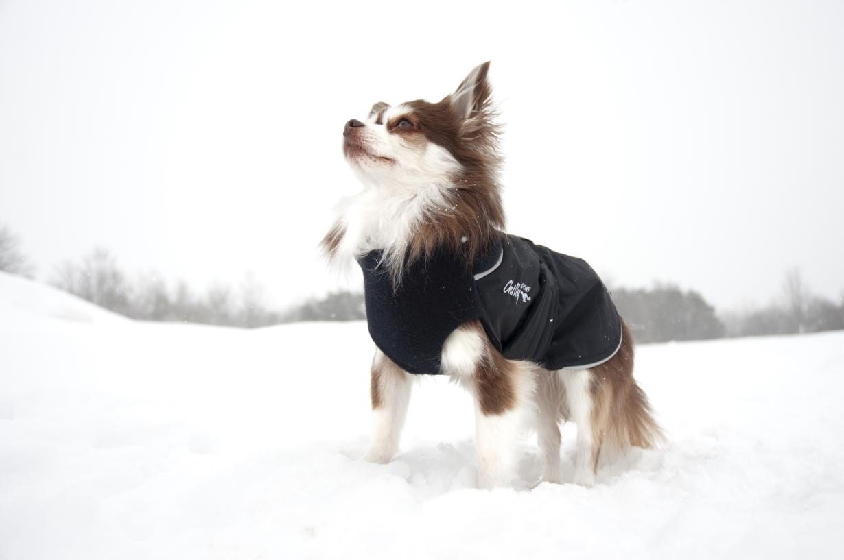 Chilly-Dogs-Great-White-North-Mantel-Schwarz-Schwarz-Chihuahua-im-Schnee